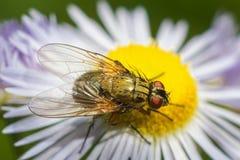 Fluga på blomman Royaltyfri Bild