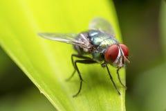 Fluga på den gröna leafen Arkivbilder