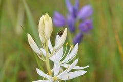 Fluga på den kräm- Camas blomman Fotografering för Bildbyråer