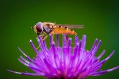 Fluga på en blomma royaltyfria bilder