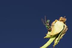 Fluga på en rosknopp Arkivfoto