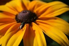 Fluga på en stor gul blomma Fotografering för Bildbyråer