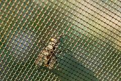 Fluga på ett myggaraster Fotografering för Bildbyråer