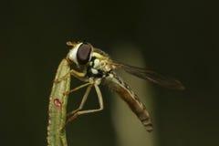 Fluga på gräsblad Arkivfoto