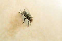 Fluga på gult tegelplattagolv Arkivfoton