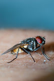 Fluga på mänsklig hud arkivbild