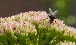 Fluga på Sedum blommanärbild Royaltyfria Bilder