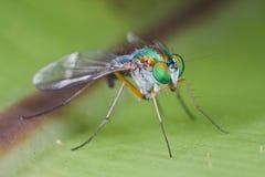 fluga som long läggas benen på ryggen Royaltyfri Bild