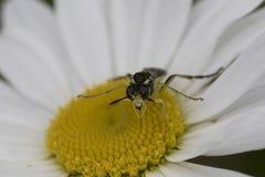Fluga som matar på den gula blomman Royaltyfri Fotografi