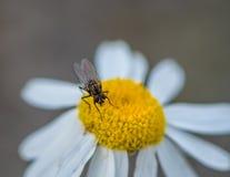 Fluga som sätta sig på en vildblomma Royaltyfri Fotografi
