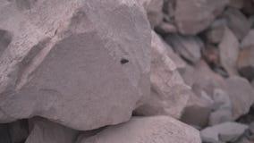 Flugan flyttar sig på en grå sten och flyger därefter bort arkivfilmer