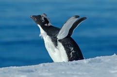 flugan lärer pingvinet till Royaltyfri Foto