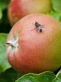 Flugan på äpplet Arkivbild