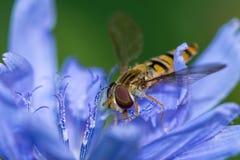 Flugan på blomman - fejka biet Arkivbilder