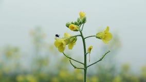 Flugan vaknar upp på en blomma stock video