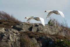 Flugasvan i Sverige arkivfoto