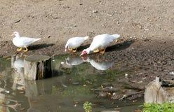 Flugenten nahe dem Wasser auf Farm der Tiere Stockfotos