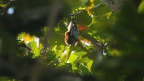Flughund, der an einem Baumast hängt und sich oben wäscht stock footage