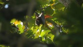 Flughund, der an einem Baumast hängt und sich oben wäscht stock video