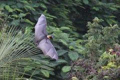 Flughund-Schläger im Dschungel Stockbild