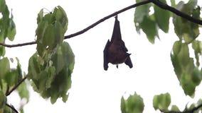 Flughunde, die am Baum hängen stock footage