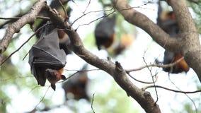 Flughunde, die am Baum hängen stock video footage