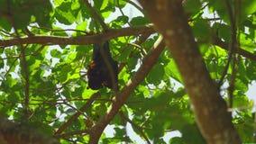 Flughunde, die an einem Baumast hängen und sich oben waschen stock video footage