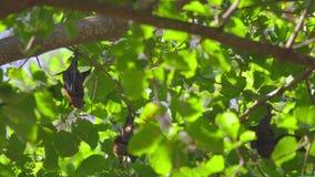 Flughunde, die an einem Baumast hängen und sich oben waschen stock video