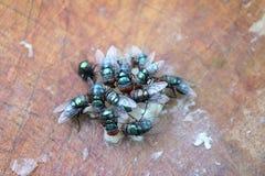 Flugor äter mänskligt skräp fotografering för bildbyråer