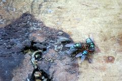 Flugor äter mänskligt skräp royaltyfri foto