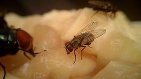 Flugor på köttmakro arkivfilmer