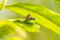 Flugor under reproduktion arkivbild