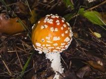Flugsvamp giftig svamp för Amanitamuscaria med det orange locket i mossamakroen, selektiv fokus, grund DOF Arkivbilder