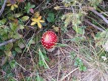 Flugsvamp i en skog på en solig höstdag arkivbilder