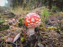 Flugsvamp på skogen, closeup inget royaltyfria foton