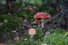 Flugsvampar royaltyfri foto