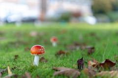 Flugsvampchampinjon i grästrädgård arkivfoto