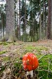 Flugsvampchampinjon i skogen Royaltyfri Bild