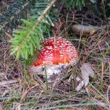 Flugsvampchampinjon som döljas i gräs i skogen, closeup royaltyfri foto