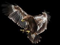 Flugwesen-Adler Lizenzfreie Stockfotografie