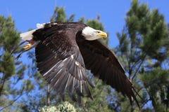 Flugwesen des kahlen Adlers über Holz Stockfoto