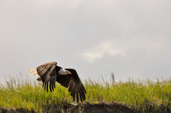 Flugwesen des kahlen Adlers Lizenzfreies Stockbild