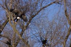 Flugwesen des kahlen Adlers durch Baumzweige lizenzfreie stockfotografie