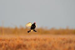 Flugwesen des Moorhuhns (Tetrao tetrix) stockfotografie
