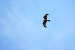 Flugwesen des schwarzen Drachens lizenzfreie stockbilder