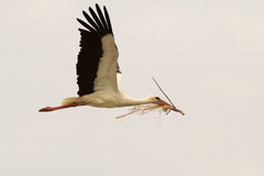 Flugwesen des weißen Storchs Stockbilder