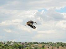 Flugwesen des weißen Storchs lizenzfreies stockbild