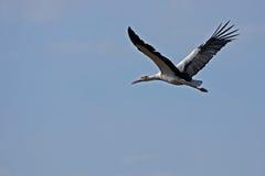 Flugwesen des weißen Storchs auf dem blauen Himmel Lizenzfreie Stockbilder