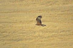 Flugwesen-Drachen stockfoto