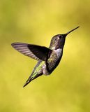 Flugwesen-Kolibri stockfotos